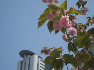 中丸子まるっこ公園の八重桜