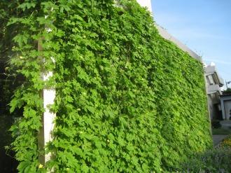 ゴーヤーの「緑のカーテン」
