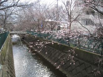 二ヶ領用水の寒桜(南武線高架近く)