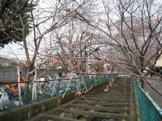 二ヶ領用水の寒桜(中原消防署跡地付近)