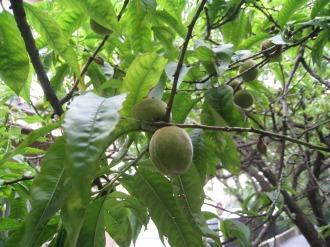二ヶ領用水の梅の実