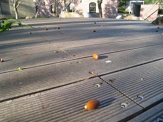 広場に落ちたドングリ