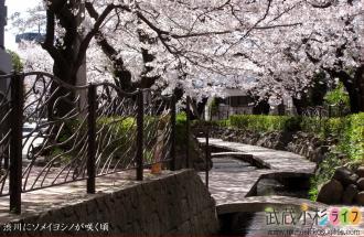 渋川にソメイヨシノが咲く頃
