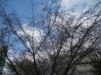 三~四分咲きの桜