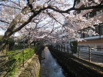 二ヶ領用水の桜(今井神社付近)