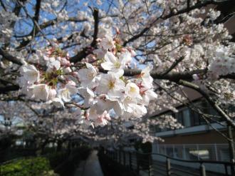 間近に見る桜の花