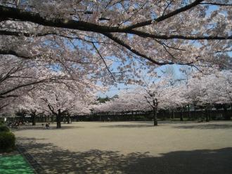 等々力緑地の桜(2)