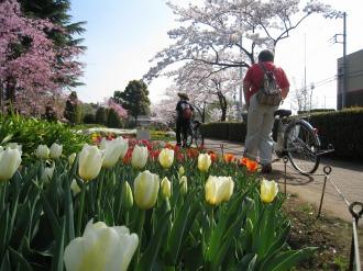 等々力緑地内の桜(3)