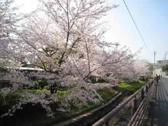 二ヶ領用水の桜(綱島街道付近)