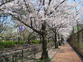中原平和公園の桜