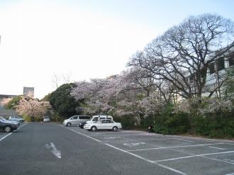 小杉駅南部地区C地区の桜