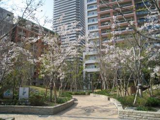 ザ・コスギタワーの桜(2)
