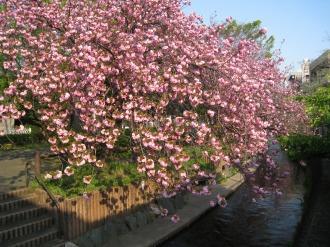二ヶ領用水の八重桜(今井神社付近)