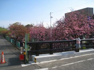 二ヶ領用水の八重桜(旧中原消防署付近)
