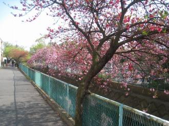 八重桜と赤い花