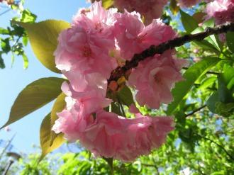 ピンク色の強い八重桜
