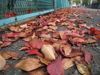 渋川の落葉